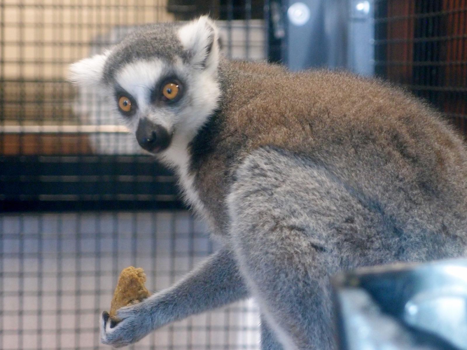 Lemur Center Tour